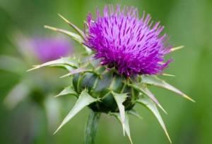 silimarina-sikavica-biljka